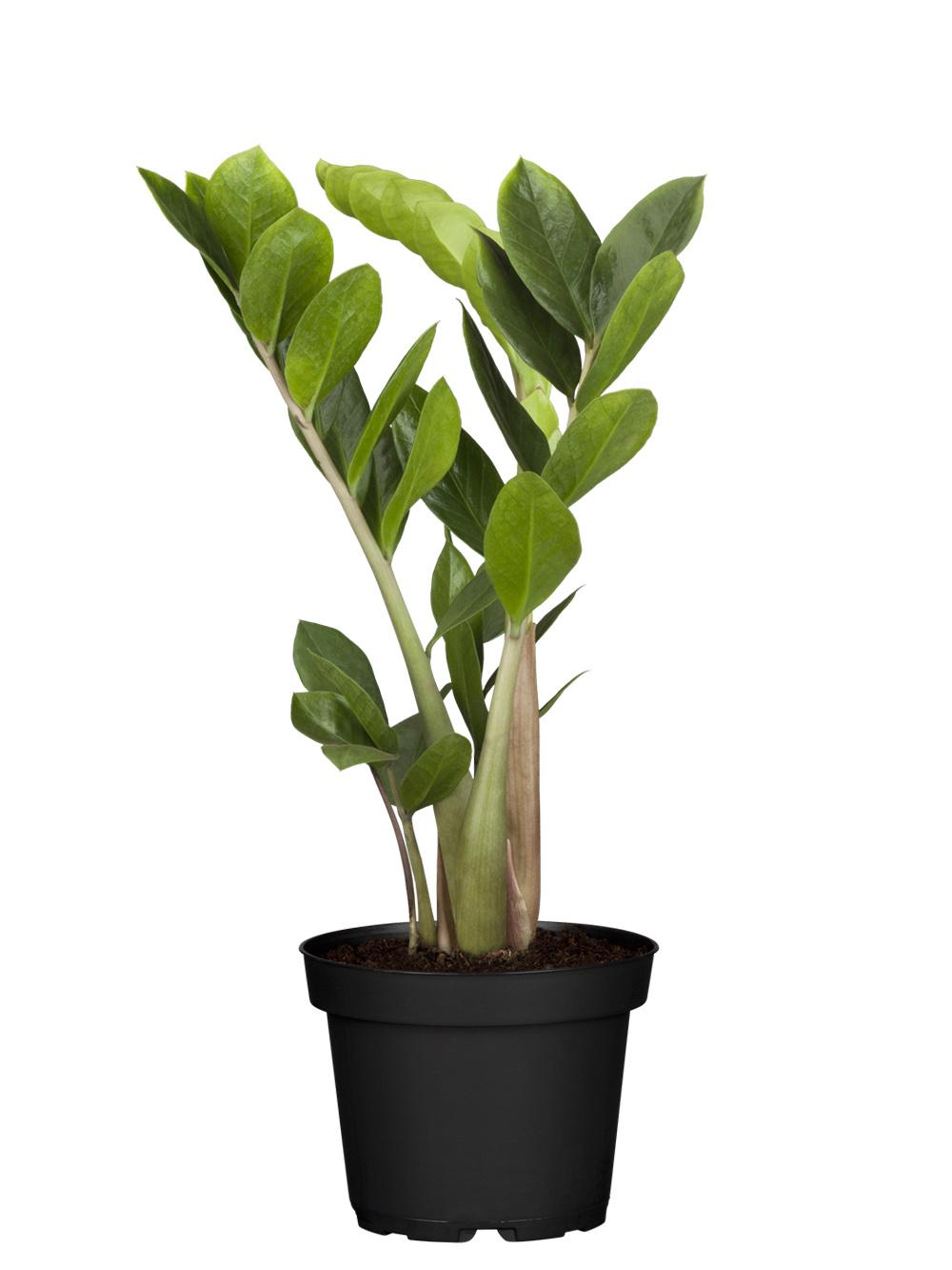 Zimmerpflanze-H 35-45cm Ø 12cm Topf Glücksfeder Zamioculcas zamiifolia