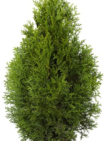 Lebensbaum (Thuja occidentalis) Smaragd 100-120 cm - 2er Set