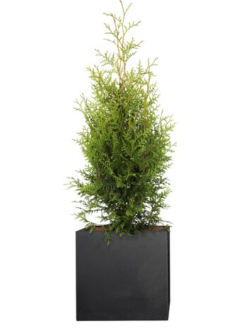 Lebensbaum (Thuja occidentalis) Brabant 80-100 cm - 4er Set