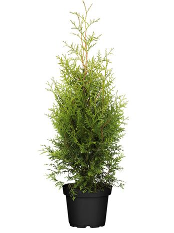 Lebensbaum (Thuja occidentalis) Brabant 100-120 cm - 2er Set