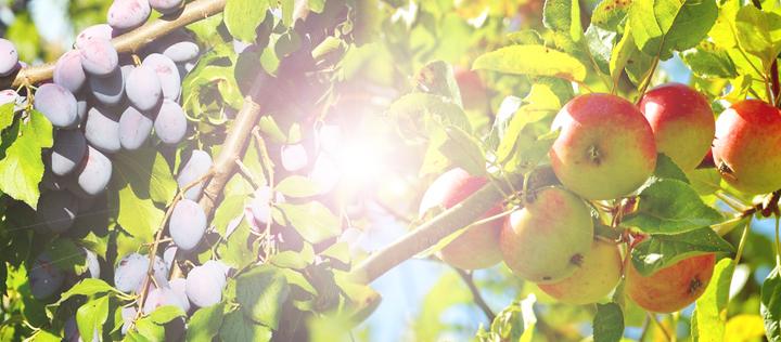 Obstbäume wie Pflaumen oder Äpfel ernten.